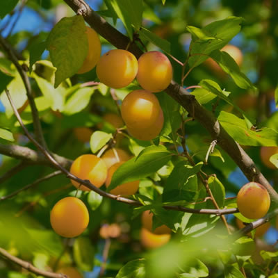 Ximenia Oil Skin Benefits