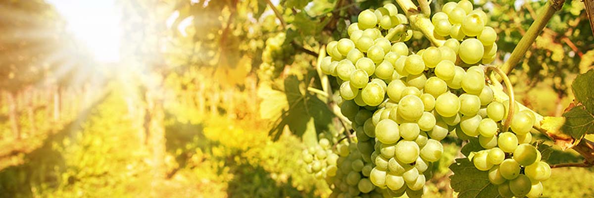 Looking for Sauvignon Blanc wines? Buy Sauvignon Blanc white wines and other white wines from Winery Philippines.