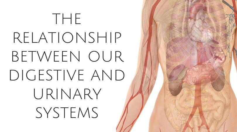 The Relationship Between Our Digestive and Urinary Systems