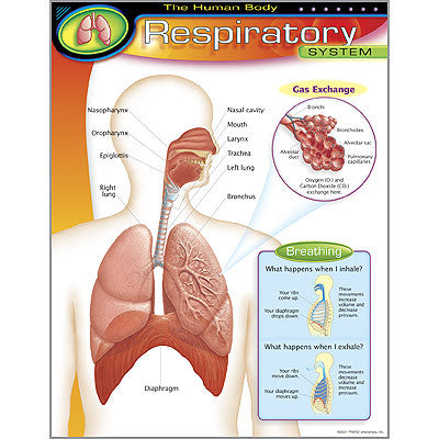 The Human Body–Respiratory System