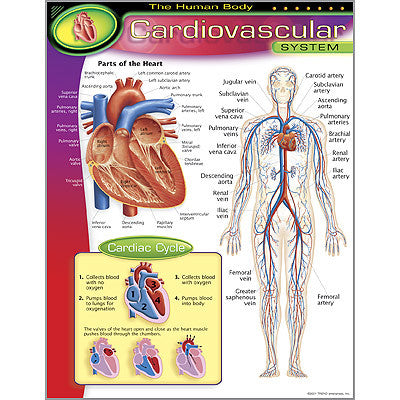 The Human Body–Cardiovascular System