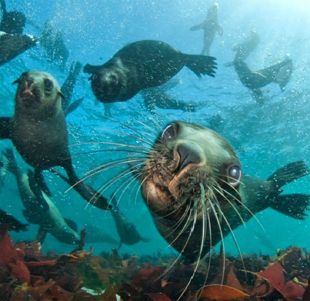 SEAL SNORKELING IN HOUT BAY