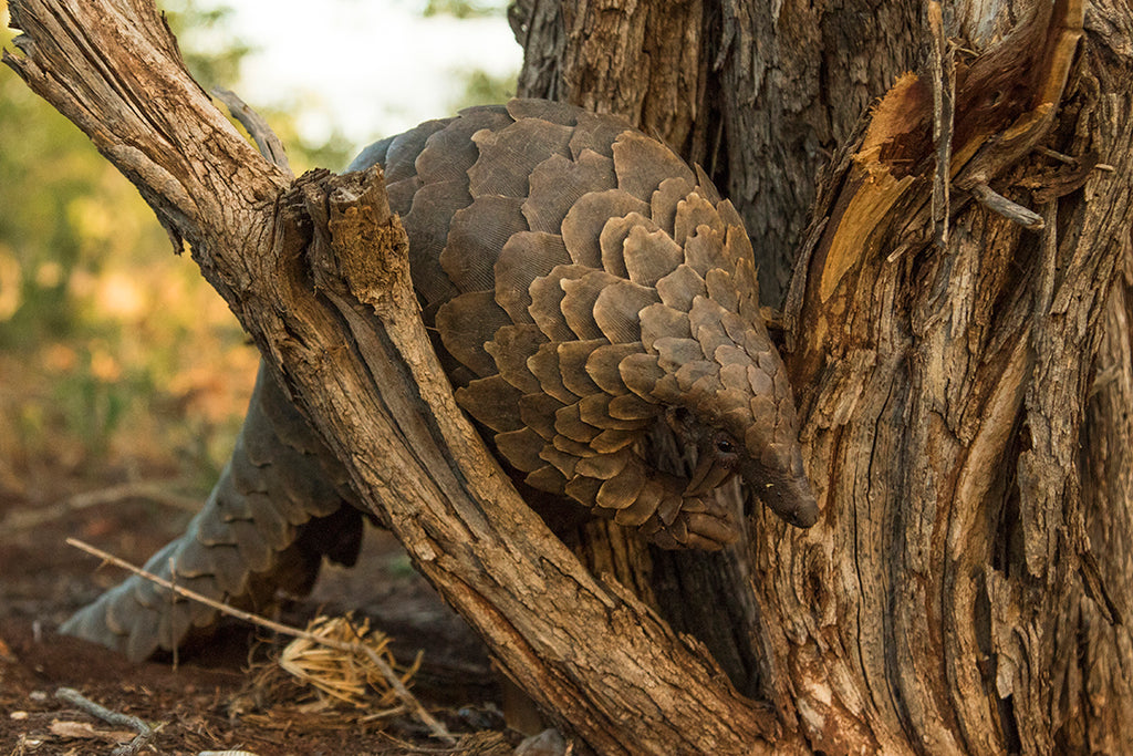 Gone Outdoor and the African Pangolin Working Group