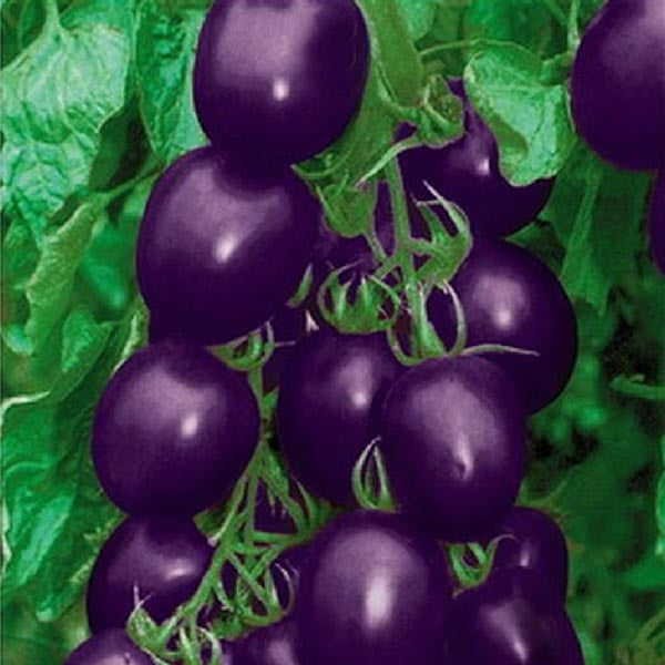 20pcs Cherry Tomato Organic Fruit Vegetable Plant Seeds Purple