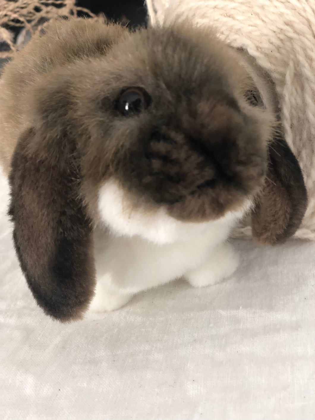 hansa mini lop rabbit