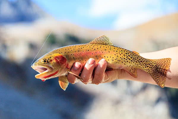 A Rio Grande Cutthroat Trout