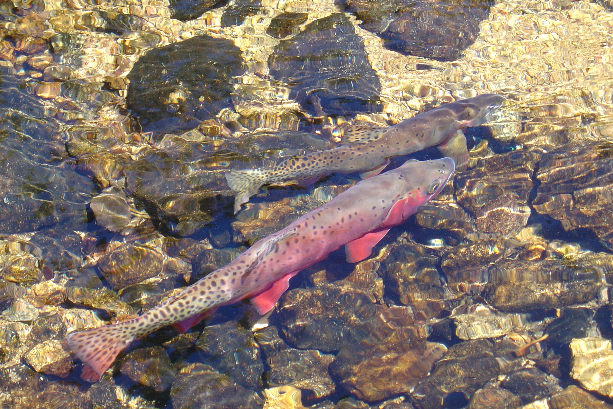 Colorado Trout Unlimited Native Trout Restoration Projects