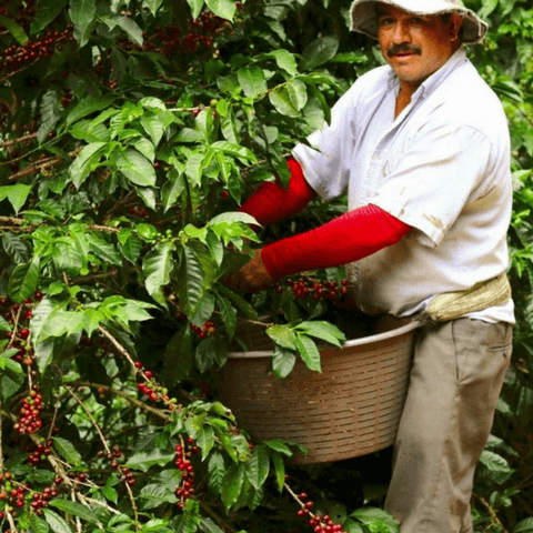 Organic Coffee Bean grower
