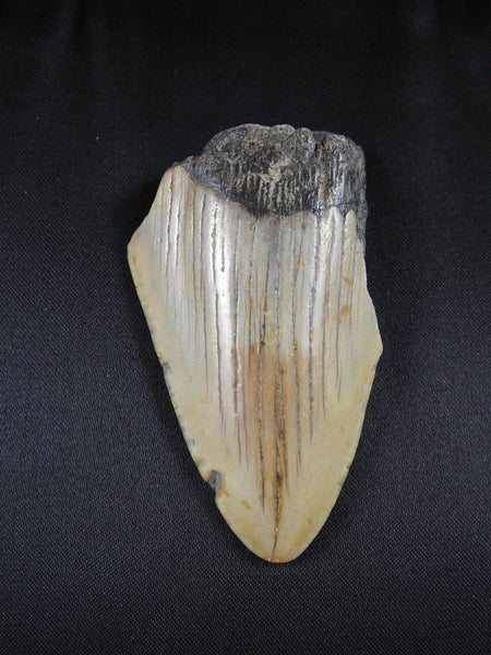 Fossilized Megalodon Tooth (31)