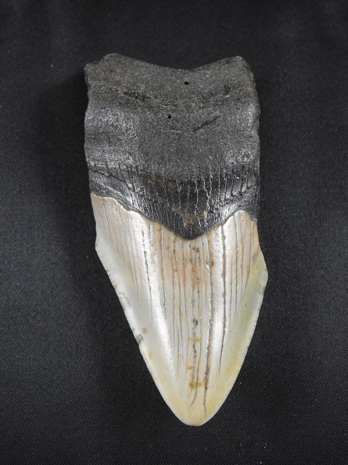 Fossilized Megalodon Tooth (33)