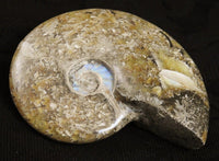 Ammonite Fossil from Morocco