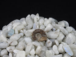 Rare Ammonite Fossil from Madagascar (77)