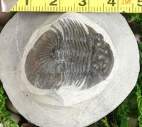 Genuine Fossilized Trilobite (220)