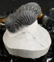 Genuine Fossilized Trilobite (239)
