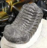 Genuine Fossilized Trilobite (241)