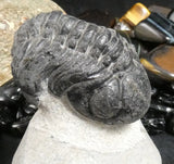 Genuine Fossilized Trilobite (251)