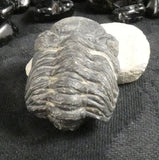 Genuine Fossilized Trilobite (254)