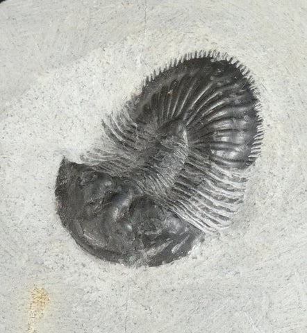 Genuine Fossilized Trilobite (266)