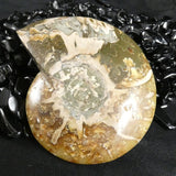 Polished Ammonite Fossil (332)