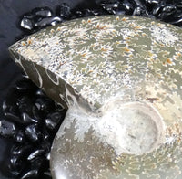 Polished Ammonite Fossil (333)