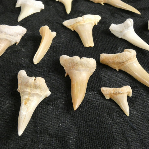 Fossilized Shark Teeth