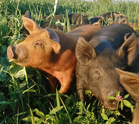 Serenity Kids ethically sources pasture raised pigs for their Uncured Bacon from Singing Prairie Farms