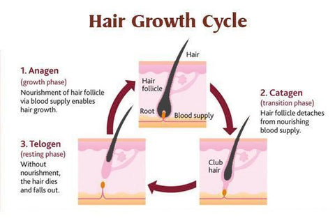 Hair Growth Cycle Diagram