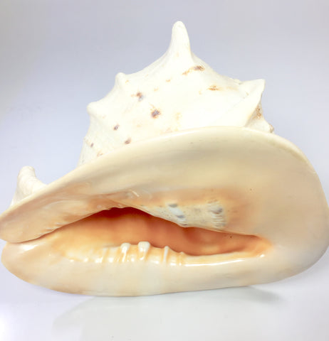 Vintage Conch Shell Queen Helmet Horned