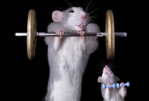 Gym Rat: Someone who is at the gym constantly and cares a lot about their physique.