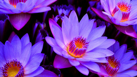 Everything There is to Know about Blue Lotus