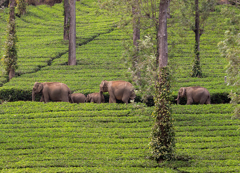 How Elephant Family's Ruth Ganesh is Saving Asian Elephants