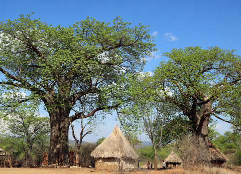 Baobab Oil: From Your Lips to This Tree