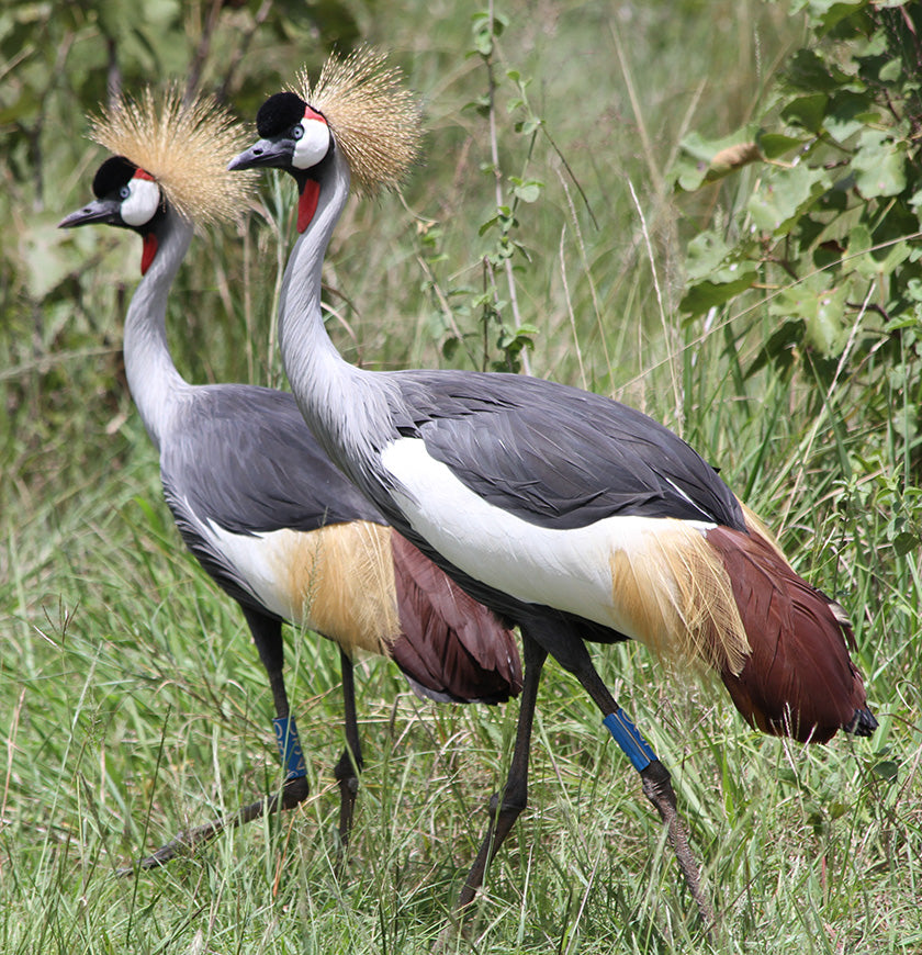 How the Grey Crowned Crane Almost Vanished