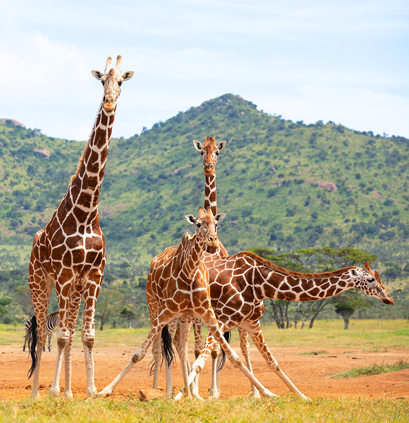 Help Us Stand Tall for Giraffes