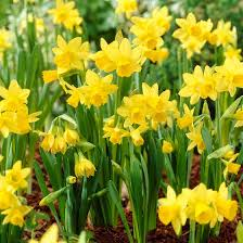 birthflower-march-daffodil