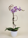 Single Stem Orchid