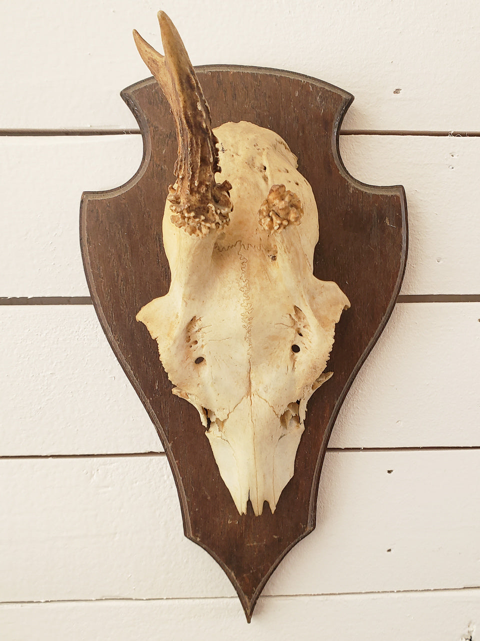 German Antler Mount