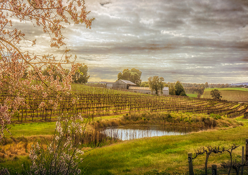 Barossa Valley vineyard fine art print