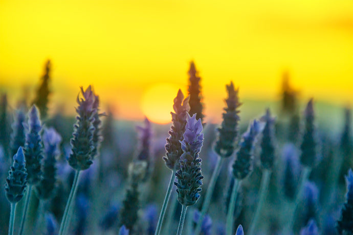 Lavendar sunset fine art print