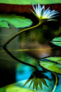 Water lily 3 fine art print