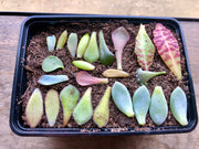 Grow Your Own Succulents Kit