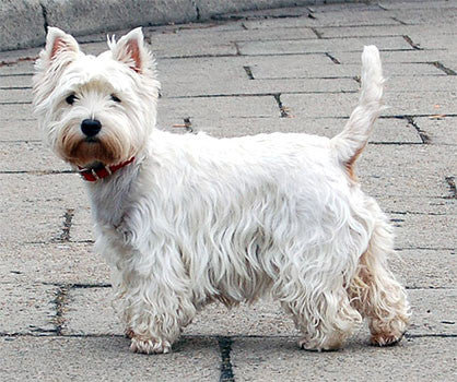 Hund i Fokus: West Highland White Terrier