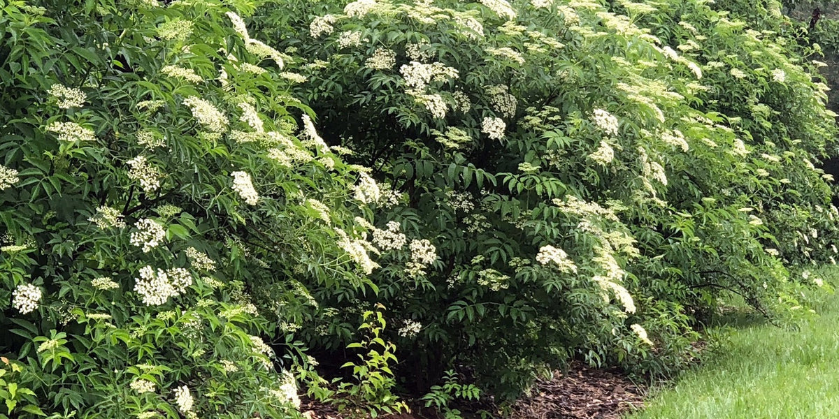 Growing Elderberry