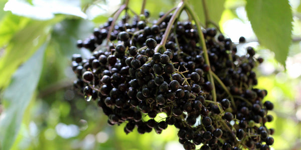 Norm's Farms Passion for Growing The Pure American Elderberry