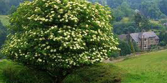 how to grow elderberry from cuttings