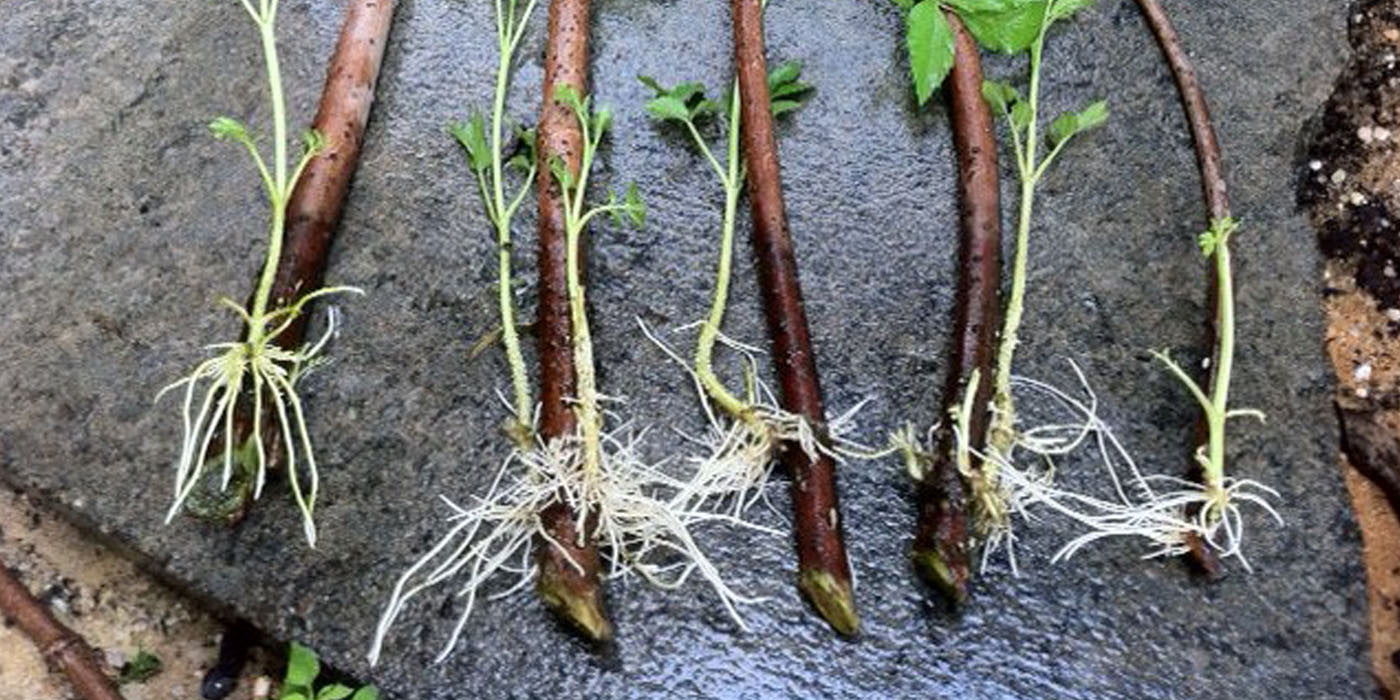 How to Root Elderberry Cuttings