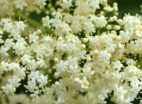 Norm's Farms Elderflower