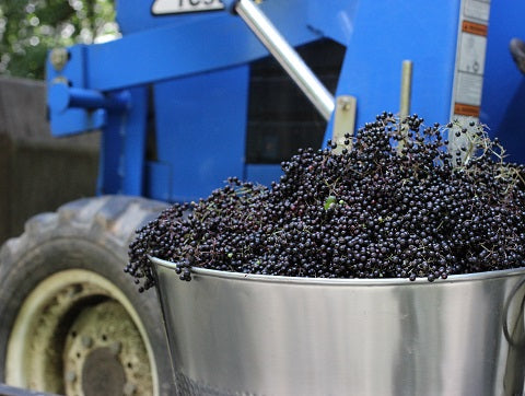 Norm's Farms Elderberry Harvest