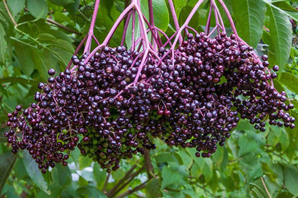 Fully ripe photo of elderberry cluster