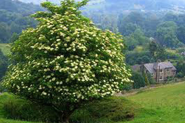 Show Me A Picture Of An Elderberry Tree
